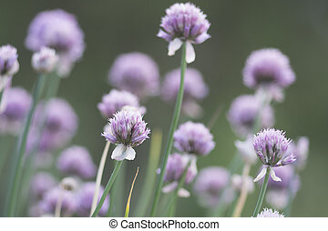 Red clover - Trifolium pratense is a species of clover,...