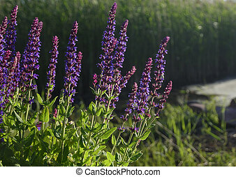 Sage in evening sunlight, Salvia officinalis, closeup