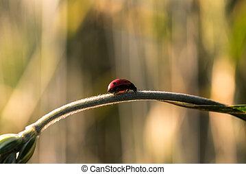 Ladybug on wheat stem - Closeup of beautiful ladybug on...