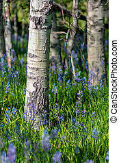 Blue wild flowers in a grove of Aspen trees