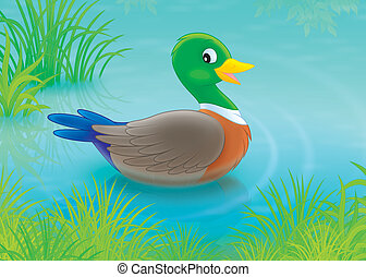 Duck - Wild duck swimming in a pond