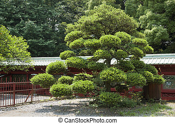 Japanese pine - scenic Japanese pine tree on the temple yard