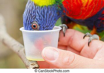 Australian Rainbow Lorikeet, Trichoglossus moluccanus, on a...