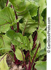 beet greens closeup