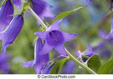 campanula - purple bell flower close up
