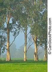 Gumtrees on the Foggy Farm - Gumtrees along fenceline in a...