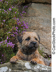 Border Terrier Photographed With Purple Heather On The...