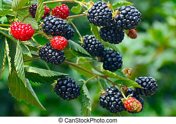 Blackberry plant - Blackberry plant with berries and green...