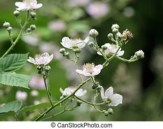 Himalayan Blackberry Flowers