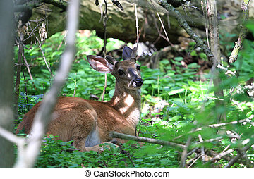 White-tail Deer Buck laying down early morning