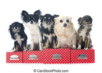 chihuahuas - five chihuahuas in front of white background