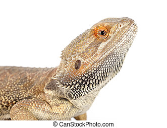 bearded dragons in front of white background