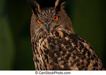 Eurasian Eagle owl is a very large,heavy owl