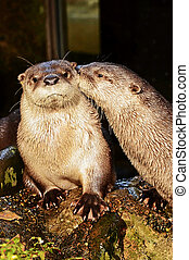 River otter is a semi aquatic mammal