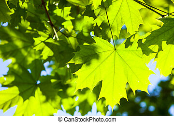 Green maple leaves in the sunshine - Bright green leaves of...