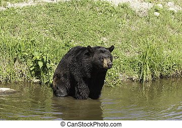 Black bear in a lake