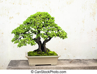 Bonsai on background stucco wall