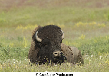 Large Bison in meadow.