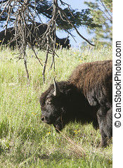 Portrait of Bison.