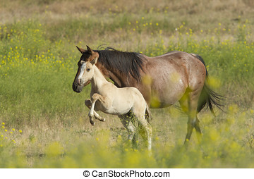 Spunky little colt - A horse and its colt in the field near...