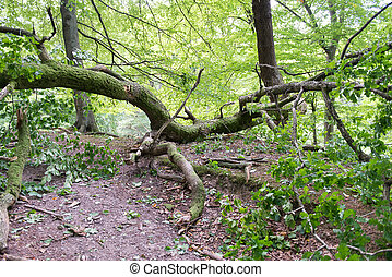 Windfall in forest - Broken oak tree as damage from a storm...