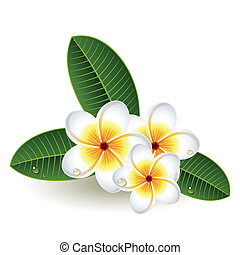 Plumeria - Vector illustration - Plumeria flowers on white