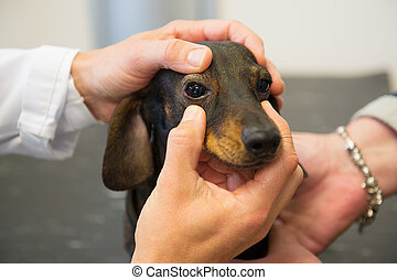Veterinarian is looking to the eyes of dog - Veterinarian is...