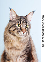 Maine coon cat on blue