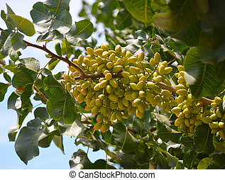 Pistachio tree - Pistachio nuts on green leaves on the field...