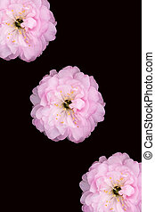 Cherry Blossom Trio - Three cherry blossoms on a black...