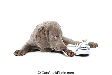Weimaraner puppy pulling shoe lace - Weimaraner puppy of 3...
