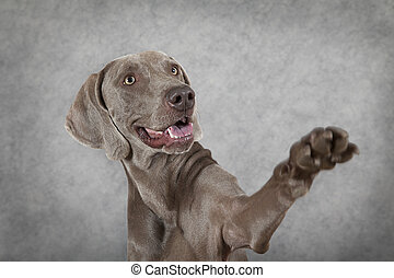 Shorthaired Weimaraner dog waving hello - Weimaraner waving...