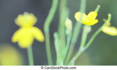 Celandine flowers - Focus to far from flower of one's...