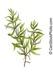 Sprig of rosemary. Watercolor illustration on a white...