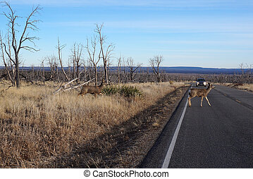 Buck Deer walks across road