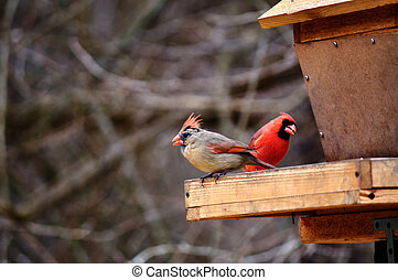 Cardinal Bird - One of the most recognizablebirds in North...