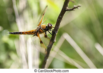 Four-spotted Chaser - side view - Four-spotted Chaser -...