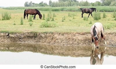 herd of horses on river