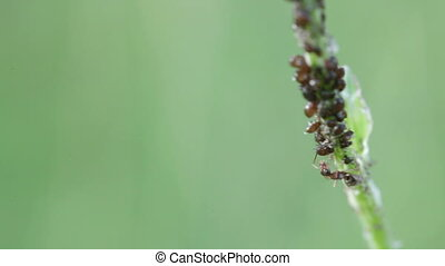 Ant milking aphids on stem - Ant pest aphid milking flock...