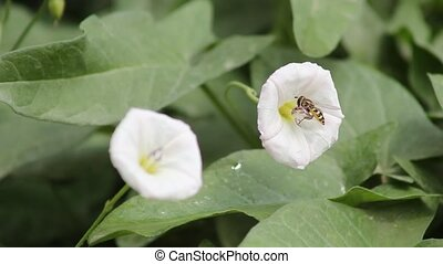 The bee and the white morning glory - Honey bees in the...