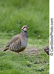 Red-legged partridge, Alectoris rufa, single bird on grass,...