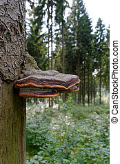 Tree fungus - A growing tree mushroom in the forest area...
