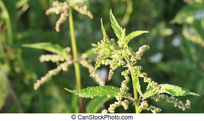 Nettle plant - Nettle stem with buds of flowers
