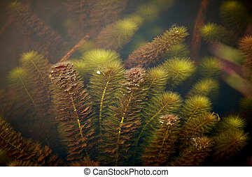 water weeds - close up water weeds background