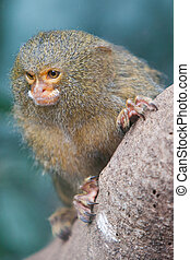 Pygmy Marmoset - A pygmy marmoset looks for food whilst...