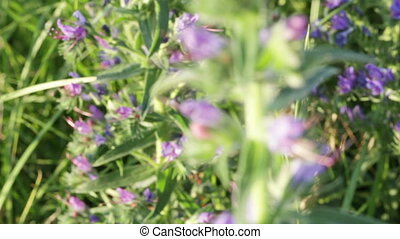 Purple wildflowers Phacelia - Phacelia Switch focus to group...