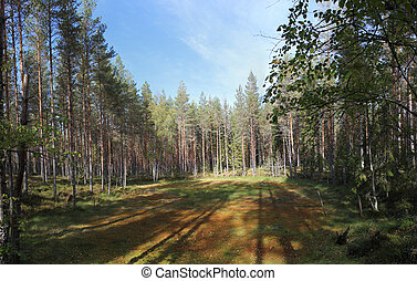 Forest Clearing In Sweden - A glacial forest clearing at...