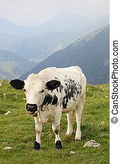 alpes, vaca
