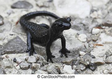 """Salamander - black alps salamander in Europe ,""""Ichthyosaura..."""