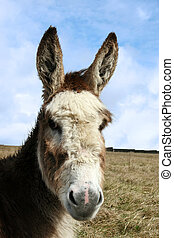head donkey - a donkey resting in a field on the west coast...